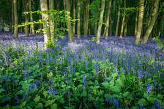 Carpeted (thriddle) Tags: badburyclump oxfordshire bluebells woodland xtransformer