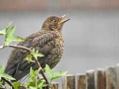 Blackbird fledgling (LouisaHocking) Tags: blackbird fledgling baby bird british wild nature southwales wales pontypridd cilfynydd wildlife backgarden