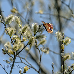 Peacock Butterfly in Hardknott Forest (pollylew) Tags: