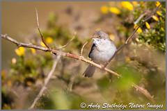 Male Whitethroat (www.andystuthridgenatureimages.co.uk) Tags: warbler whitethroat male gorse brambles bracken moorland dartmoor national park uk bird animal canon