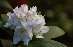 Happy Sunday! (AnyMotion) Tags: rhododendron azalea ericaceae blossom blüte leaves blätter 2019 plants anymotion nature natur blumen floral flowers frankfurt garden garten spring frühling primavera colors colours farben white weiss 7d2 canoneos7dmarkii