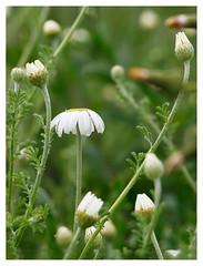wildflowers-1150652c-180519_DxO (Peadingle) Tags: apex park highbridge somerset wild flower meadow close up