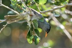 Hypsipetes madagascariensis Naturalia lodge 300419 AV-83rc (alapi973) Tags: panasonicdmcgx80 leicadg100400f4063 bulbul oiseau hypsipetesmadagascariensis