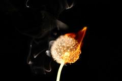 Burning dandelion head. (gizmo-the-bandit) Tags: flower dandelion head seeds down plant gardening fire burn burning art abstract nature uk wildlife cumbria flame blaze smoke