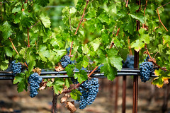 Opus One (Thomas Hawk) Tags: america california napa napavalley opusone opusonewinery us usa unitedstates unitedstatesofamerica grapes vineyard winery