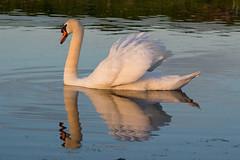 Swan Doonfoot 12.05.19 (Robert Banks 1) Tags: mute swan doonfoot ayr scotland sunset water river sea doon ayrshire