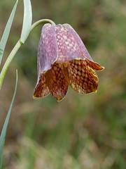 fritillaire des Pyrénées (vtossuma) Tags: fleur nature sauvage prairie montagne