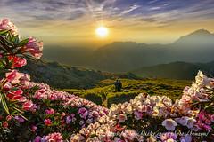 迎曦 (Benz Yu) Tags: 花卉 風景 日出 玉山杜鵑 高山杜鵑 標高3421公尺 合歡山東峰