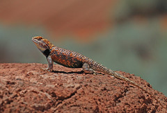 Desert Spiny Lizard (tomblandford) Tags: desertspinylizard reptile desertreptile colorfullizard coldblooded arizonareptiles conservation nature wildlifeofthewest wildlife protecttheenvironment protectpubliclands protectwildlife sceloporusmagister