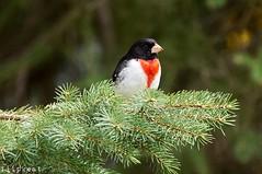 You Little Beauty (flipkeat) Tags: nature wildlife bird birds rosebreastedgrosbeak awesome closeup port credit mississauga flipkeat sony