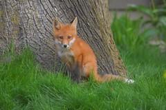 Fox3 (Peter Granka) Tags: redfox fox foxkits