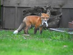Fox4 (Peter Granka) Tags: redfox fox foxkits
