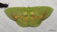 Geometer Moth, Rhodochlora exquisita (Ecuador Megadiverso) Tags: andreaskay ecuador geometermoth geometridmoth geometridae moth rhodochloraexquisita wildsumaco