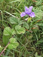 California, Pt. Reyes National Seashore, Chimney Rock, Wild Iris Flower (Mary Warren 13.5+ Million Views) Tags: ptreyesca national seashore park nature flora plant purple bloom blossom flower iris