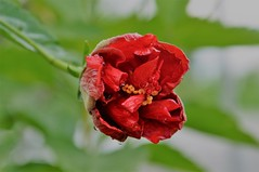 inside me (Ruby Augusto) Tags: drops gôtas rain chuva hibisco hibiscus