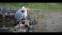 Héron cendré (Roba57) Tags: nancy lorraine grandest oiseau échassier héron cendré meurthe