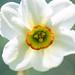 Narcissus 'Angel Eyes'