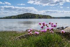 strandön (englishgolfer) Tags: sweden sverige west coast västkusten bohuslän strandön water flowers sea island nikon d7500 tamron 1750mm