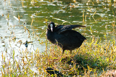Dark wing duck (NA.dir) Tags: keoladeo national park bharatpur india bird sanctuary birds migratory sony rx103 rx10mk3 rx10m3