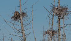 Great Horned Owls (Roger Daigle) Tags: great horned owls blue herons nests nikon