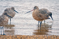 GodwithWillets (jmishefske) Tags: lakeshore nikon lakefront d500 milwaukee godwit shore willet marbled wisconsin bird lakemichigan park 2019 may county downtown
