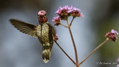 Some color on a rainy day (Bob Gunderson) Tags: annashummingbird birds california calypteanna fortmason hummingbirds northerncalifornia sanfrancisco