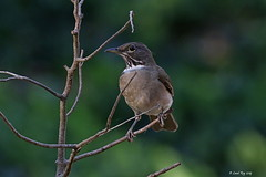 1.26138 Merle à gorge blanche / Turdus assimilis lygrus / White-throated Thrush (Laval Roy off until 07/08/2019) Tags: mexico eltuito ranchoprimavera aves birds oiseaux mexique lavalroy merleàgorgeblanche turdusassimilislygrus whitethroatedthrush passeriformes turdidés jalisco