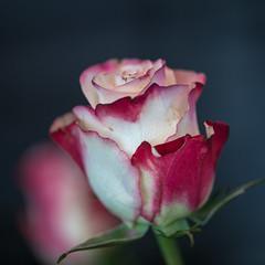2019-04-30-rFlowers beach040 (LIGHTSTALKER 13) Tags: rose flower macro