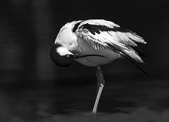 Avocet_2911 (Peter Warne-Epping Forest) Tags: recurvirostraavosetta avocet wader monochrome peterwarne preening waterbirds bw