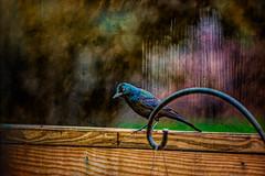 Common Grackle HSS! (Dotsy McCurly) Tags: happysliderssunday hss adobephotoshop topaz bird commongrackle colorful shiny feathers fence nature beautiful nikond750 nikonafsnikkor200500mmf56eedvr
