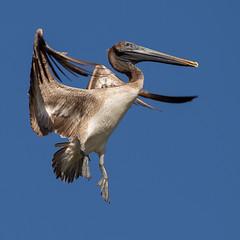 Brown Pelican (ToriAndrewsPhotography) Tags: brownpelican flight tarcoles river costa rica tori andrews photography