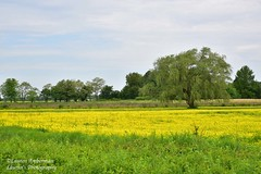 Green among yellow (lauren3838 photography) Tags: laurensphotography lauren3838photography landscape field farm tree yellow green maryland marylandphotographer md mdinfocus rapeseed nikon d750 tamron tamron2875mm28 nature ilovenature queenannescounty country rural easternshore