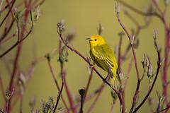 Poésie printanière/ Spring poetry (anniebevilacqua) Tags: paruline warbler parulinejaune setophagapetechia yellowwarbler jardinbotaniquedemontréal spring printemps