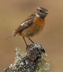 Female stonechat (waynehavenhand1) Tags: wildlife naturesfinest nature perch saxicola rubicola bird stonechat