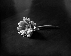 img597XL (Jurgen Estanislao) Tags: flowers still life black white monochrome vintage film photograph asahi pentax 6x7 smc macrotakumar 135mm f4 ilford hp5 plus kodak hc110 g jurgen estanislao