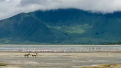 (晒晒太阳不长虫) Tags: tanzania ngorongoro zebra flamingo safari