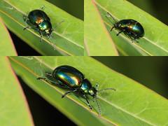 EOS 7D Mark II_084132_C (Gertjan Kamsteeg) Tags: animal invertebrate bug macro insect beetle chrysomelidae leafbeetle bladhaantje