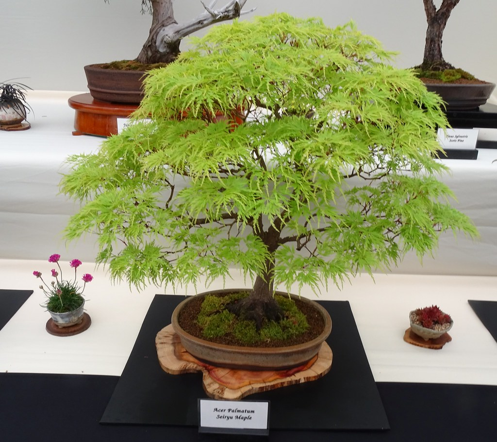 The Worlds Best Photos Of Acer And Bonsai Flickr Hive Mind