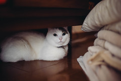 2019.5.19 : 2/365 (Nazra Z.) Tags: munchkin cat male hiding sitting home indoors vscofilm 2019 raw okayama japan 365 ayearofjoys