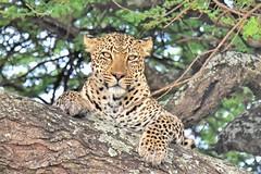 Leopard in a tree, Serengeti National Park, Tanzania (MySafariGuru) Tags: leopard tree leopardinatree serengeti wildlife safari photography tanzania africa wildanimals bigcats