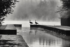 Dreaming of Canada (phileveratt) Tags: canadageese haroldpeto petowatergardens buscotpark oxfordshire lake canon eos77d efs18135 blackwhite monochrome misty mistymorning