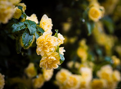 bank's rose (Christine_S.) Tags: macro flowers yellow blossoms flower olympus omd 45mm nature garden rain em10markiii rosabanksiae ladybanksrose モッコウバラ climbingrose closeup