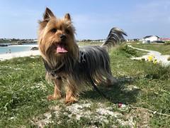 (knuthelgeland) Tags: silky terrier ziva åkrasanden beach ocean