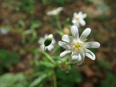 Springflowers in the forest (Landanna) Tags: springflowers flowers bloem voorjaarsbloemen forårsblomst blomst skov forest bos lentekriebels lente spring