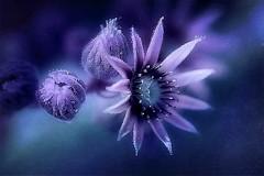 Purple Crown. A Slider:-) (Small and Beautiful) Tags: purple macro succulent digital art sliderssunday bokeh beauty flower crown