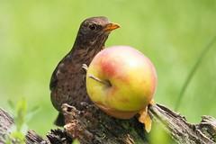 an apple a day keeps... (alfred.reinartz) Tags: amsel bird vogel singvogel blackbird