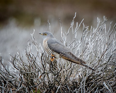 Cuckoo (my first) (mbnewcastle) Tags: