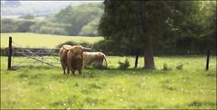 Eric 2019 .. (Andy Gant) Tags: eric highlandbull highlandcattle highlandcow highlander bull cattle rural countryside isleofwight scenic hss sliderssunday england uk