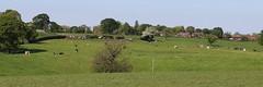 Milking Time (Wildlife Terry) Tags: wheelock sandbach cheshire milking time grazing pasture farmland