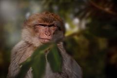 _DSC0023-Bearbeitet.jpg (markus.eymann@hotmail.ch) Tags: wildtiere photoshopartist nikond500 nikon pflanze nikonistas landschaftsfotograf nikonphotography fotografie adobe landschaft adobelightroom wald natur adobephotoshopcc katalog primat tier dunkel schwarz affe säugetier